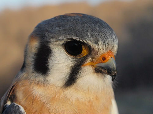 The most memorable bird of the week was this striking male American Kestrel, at long last banded at McGill Bird Observatory for the first time.  (Photo by Simon Duval)