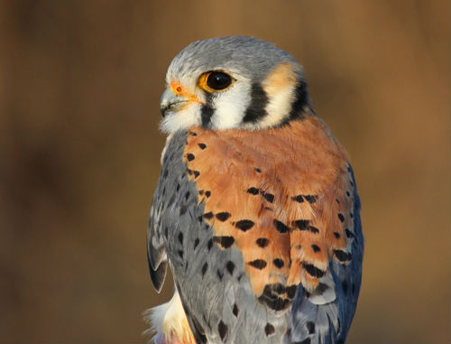 Another view of this week's star, the male American Kestrel. (Photo by Simon Duval)