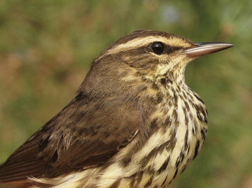 In most years, we are banding a small assortment of warblers by week 6, but this week our count was limited to two Northern Waterthrushes.  (Photo by Simon Duval)