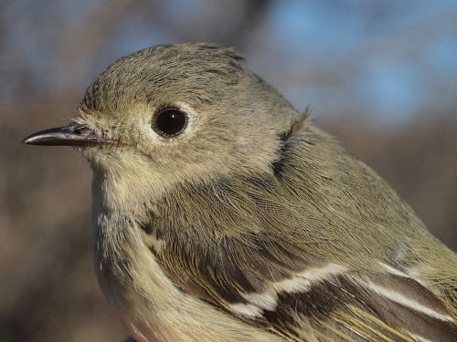 Ruby-crowned Kinglets are always among the common species at McGill Bird Observatory in early May, and this year is proving to be no exception. (Photo by Simon Duval)