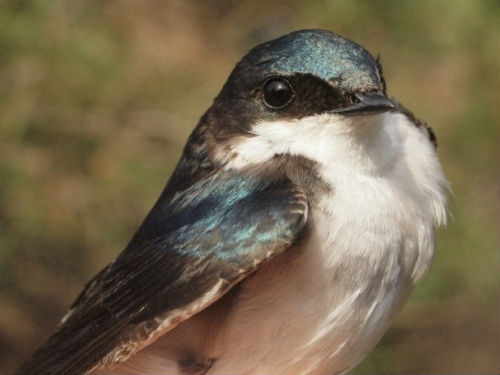 Tree Swallow numbers have been declining noticeably at MBO, but the count observed this week was somewhat greater than at the same time in 2013, so we are hopeful they represent a modest rebound for the species.  (Photo by Simon Duval)