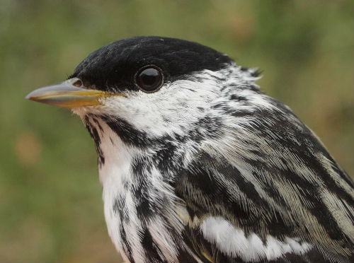 Blackpoll Warbler is traditionally among the latest spring migrants to arrive at MBO, yet it was among the 22 warbler species observed this week. (Photo by Simon Duval)