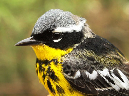 A striking male Magnolia Warbler; next to Yellow-rumped Warbler, it was the most abundant of the 15 warbler species banded at MBO this week.  (Photo by Simon Duval)