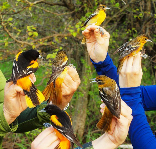 Six Baltimore Orioles at once!  An impressive increase over spring 2013, when only 7 were banded all season long.  (Photo by Simon Duval)