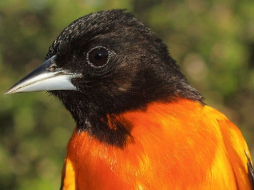 One of the stunning male Baltimore Orioles banded this week .  (Photo by Simon Duval)