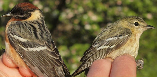A rare opportunity to compare male and female Bay-breasted Warblers with these two banded on the same morning.  Only 8 others have previously been banded over 9 entire spring seasons.  (Photo by Simon Duval)