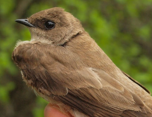 Again this week we were fortunate to band a species we seldom encounter at MBO, this time a Northern Rough-winged Swallow, the first caught since 2007.  Incredibly, we banded a second one just a half-hour later, caught in the same net (A2) as the first. Later in the week, two individuals were observed perched side by side near the C nets, so perhaps we have a local pair considering nesting?  (Photo by Simon Duval)