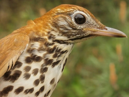 This was only the third Wood Thrush banded at MBO over our 10 spring seasons. (Photo by Simon Duval)