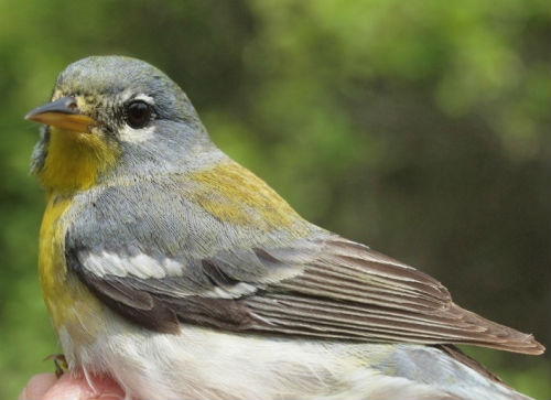 A Northern Parula, the 21st warbler species banded at MBO this spring.  Note that this individual is easily recognizable as a second-year bird by virtue of the contrast between the brownish juvenile primaries, secondaries, and primary coverts, contrasting with the blue-gray of the greater coverts. (Photo by Simon Duval)