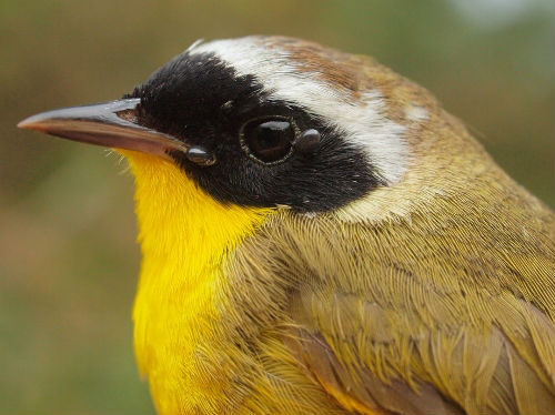 Common Yellowthroat, another of the warbler species that reached record totals in spring 2014.  Note also the two engorged ticks on this male's face; these were removed during banding, and submitted to an ongoing research program that tracks the movement of bird-borne ticks.  (Photo by Simon Duval)