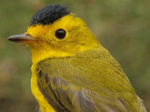 Another three Wilson's Warblers were banded this week, making it one of five warbler species in record numbers this spring.  (Photo by Simon Duval)