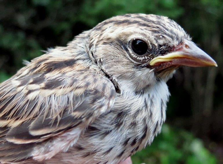 """Roger Tory Peterson popularized the term """"confusing fall warblers"""" – but what about juvenile sparrows? This very young bird is a Chipping Sparrow, with its streaky underparts quite unlike its parents! (Photo by Gay Gruner)"""