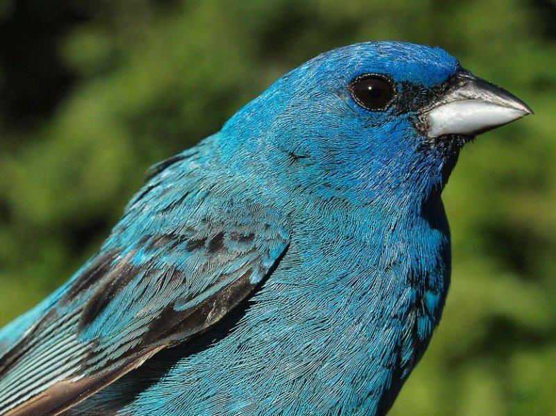 MBO regularly has at least one breeding pair of Indigo Buntings, and the males are among the few species that continue to sing regularly well into August. One of the adult males was among the birds banded in the first week of our 11th Fall Migration Monitoring Program (Photo by Simon Duval)