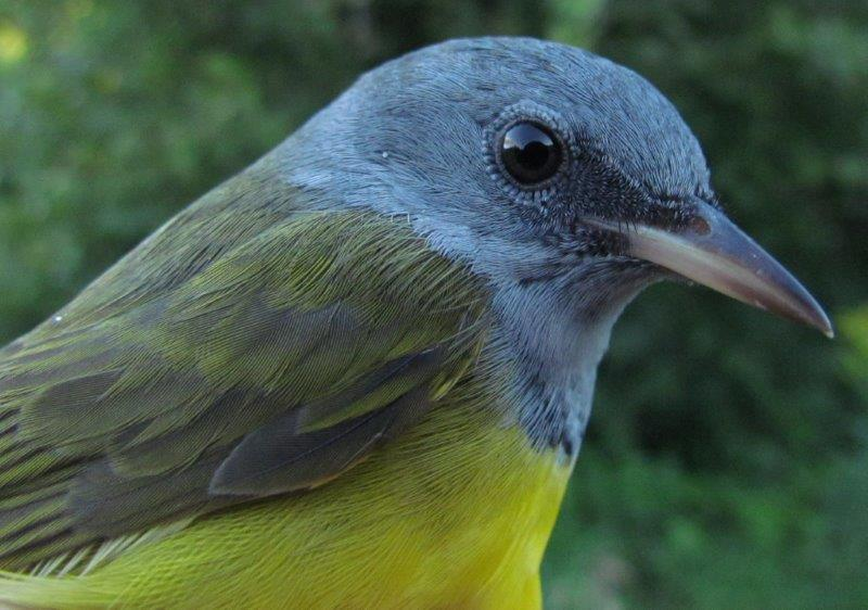 The most uncommon bird banded in the opening week was this Mourning Warbler; no more than 14 have been banded in any fall season. (Photo by Lisa Keelty)