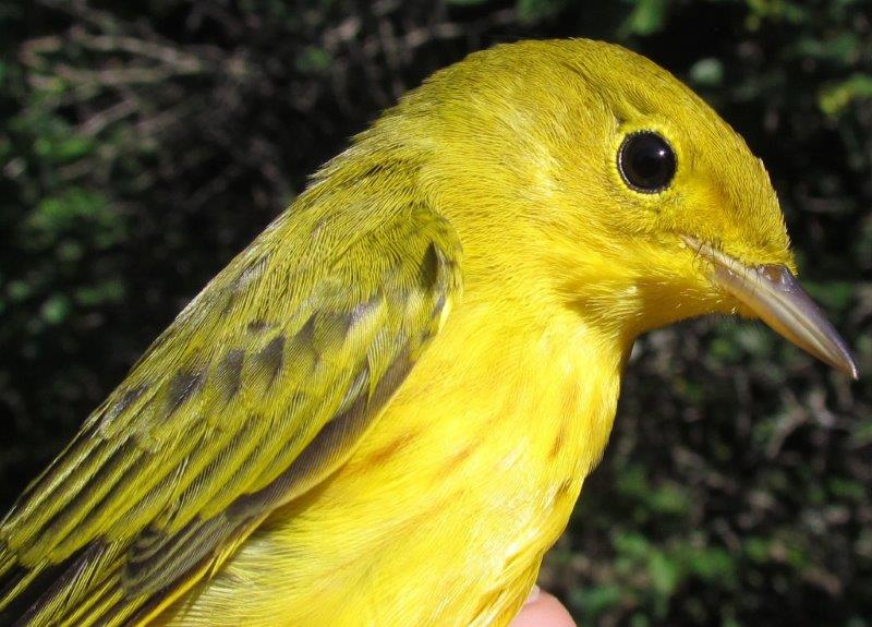 Although it is only the first week of August, we will soon be saying goodbye to Yellow Warblers, one of the earliest species to head south. (Photo by Lisa Keelty)