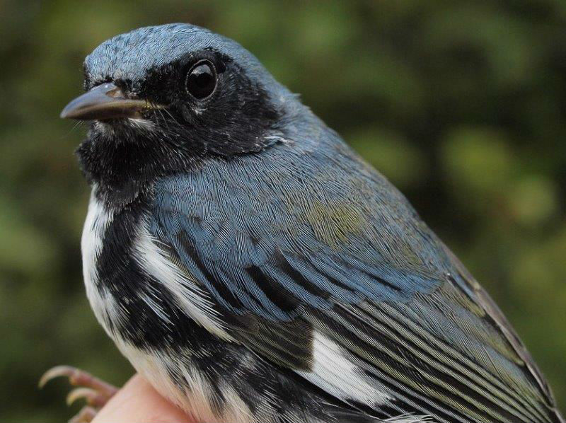 Black-throated Blue Warblers are among the few warblers that typically are present for at least two-thirds of the fall season at MBO. However, the peak of their migration is on average around mid-September, so it's always nice to see one early in the season (Photo by Simon Duval)