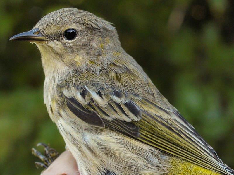 In 2011 and 2013 we saw strong spikes in Cape May Warbler numbers, presumably in response to the spruce budworm outbreak in Quebec, although in 2012 and 2014 the counts were more modest. Are we in for another high year in 2015? (Photo by Simon Duval)