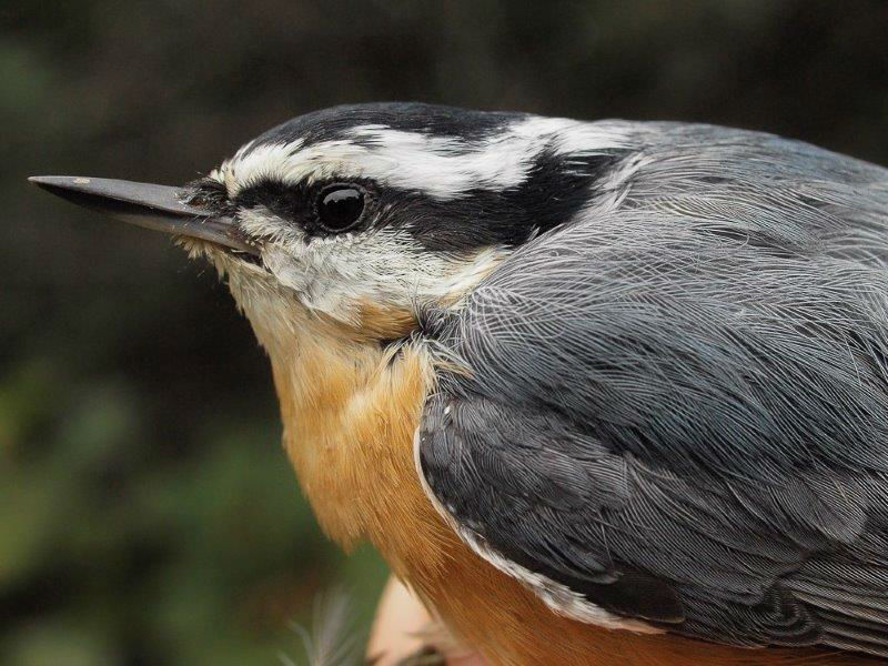 This Red-breasted Nuthatch was the star of the week, our first banded at MBO since fall 2012, and only the 12th one overall in 11 years of operation (Photo by Simon Duval)