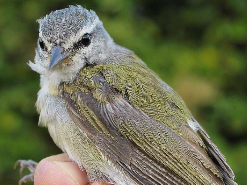 Another impressive bird in week 2 was this Tennessee Warbler, captured 2 years and 359 days after we banded it – and in net D1 both times! Tennessee Warblers do not breed at MBO, but a fair number molt here every fall, and this is another example of a molt migrant showing site fidelity. (Photo by Simon Duval)