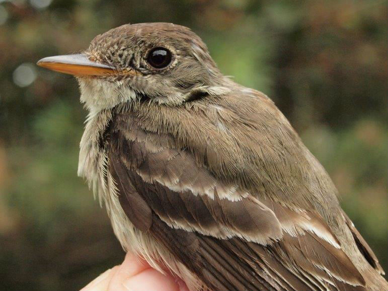To commemorate our 11th year of standardized migration monitoring at MBO, here is our 11th Eastern Wood-Pewee banded over that period (Photo by Simon Duval)