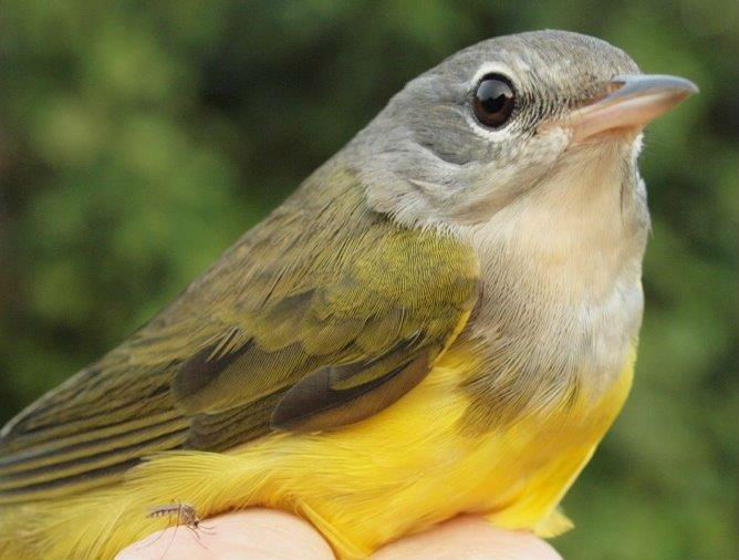 Generally a relatively uncommon species at MBO, this was one of 8 Mourning Warblers banded at MBO this week, a new single-week record (Photo by Simon Duval)
