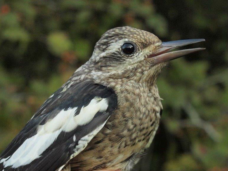 Another relatively uncommon species at MBO is Yellow-bellied Sapsucker, with only 3 or 4 individuals banded in an average year; this juvenile was the first of fall 2015. (Photo by Simon Duval)
