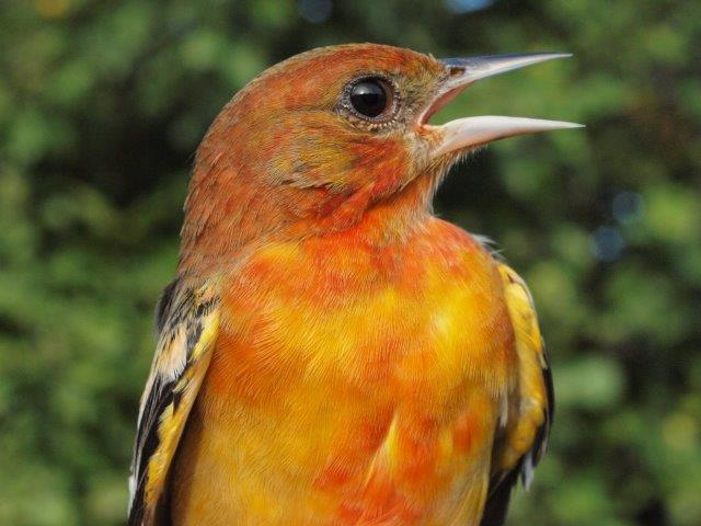 Back in August 2006, we documented a number of unusually reddish Baltimore Orioles, eventually leading to a research paper on the subject. We have seen fewer such individuals in recent years, but the one above from this week is as boldly coloured as any we have seen. (Photo by Simon Duval)