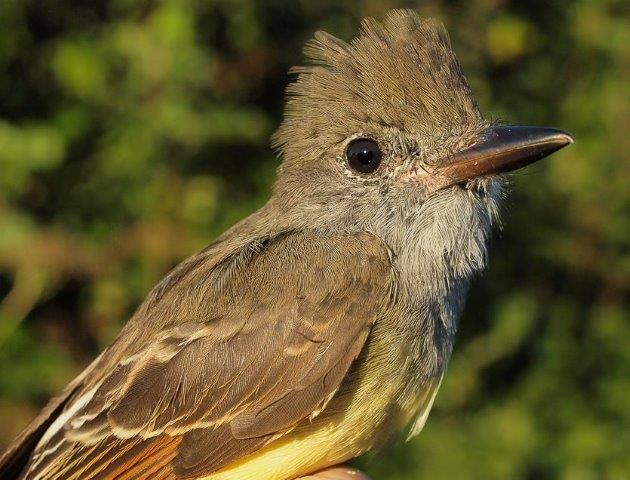 In some recent years, Great Crested Flycatchers have nested at MBO and been banded as part of the MAPS program in June and July, but this year they were missed and this was the first one banded in 2015.