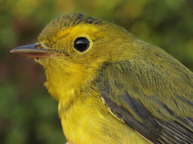 The other species banded for the first time this fall was Wilson's Warbler – but whereas the Great Crested Flycatchers are almost done for the year, we expect many more Wilson's Warblers over the next few weeks (Photo by Simon Duval)