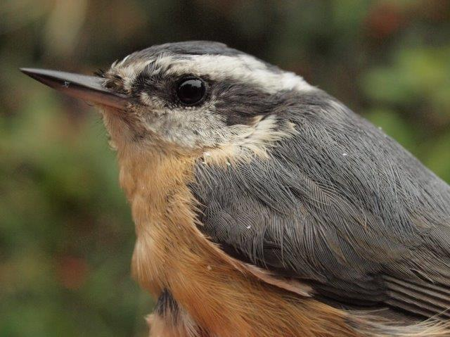 This is shaping up as a good fall for Red-breasted Nuthatches, with three individuals banded in August, and two of them (including this female) hanging around and recaptured this week (Photo by Simon Duval)
