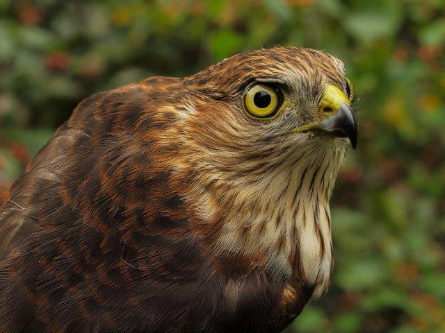 Our first Sharp-shinned Hawk banded this fall; for the third year in a row none were banded in August, but last year the season record was set with 18 banded in September and October, therefore many more may yet be on the way this fall as well. (Photo by Simon Duval)