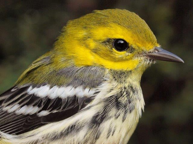 One of only four Black-throated Green Warblers banded so far this fall, but the peak of their migration is yet to come (Photo by Simon Duval)