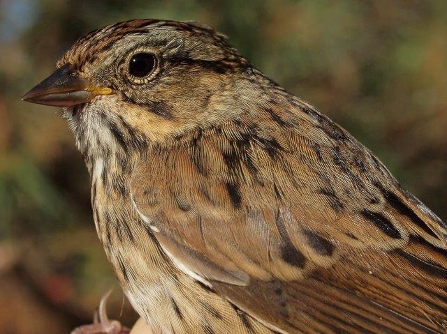 Our first Lincoln's Sparrow of the season reflects a transition to the middle phase of fall migration (Photo by Simon Duval)