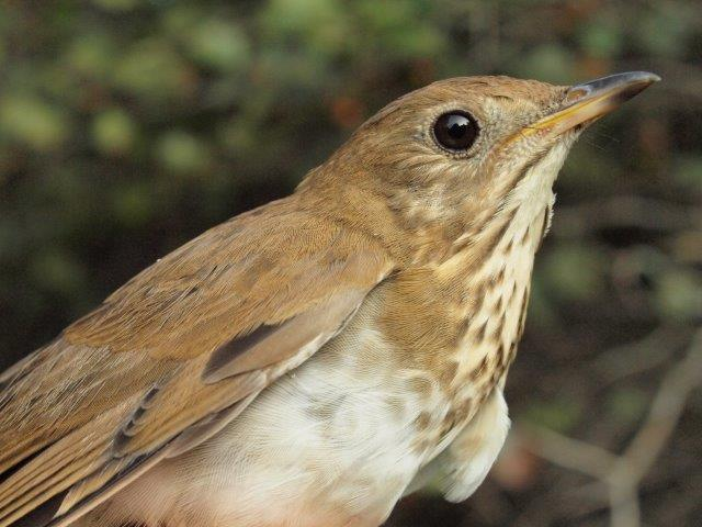 One of another four Veery banded this week, extending the new season record to 31, far ahead of the old high of 25 set just last year (Photo by Simon Duval)