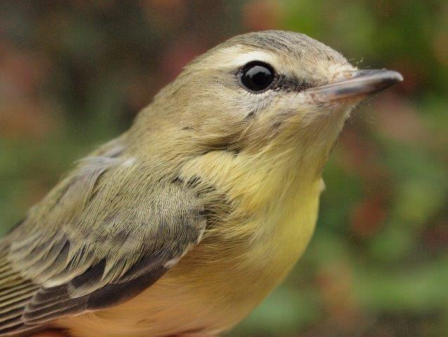Generally the least common of the four vireo species at MBO, Philadelphia Vireos have been particularly scarce this fall, so it was encouraging to finally band four of the this week (Photo by Simon Duval)