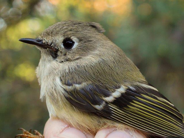 A reliable sign of transitioning to the middle period of fall migration is the arrival of groups of Ruby-crowned Kinglets (Photo by Simon Duval)