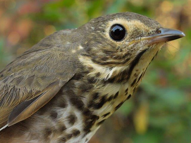This is turning into another memorable fall migration for thrushes, most notably Swainson's Thrush, with another 41 banded this week alone (Photo by Simon Duval)