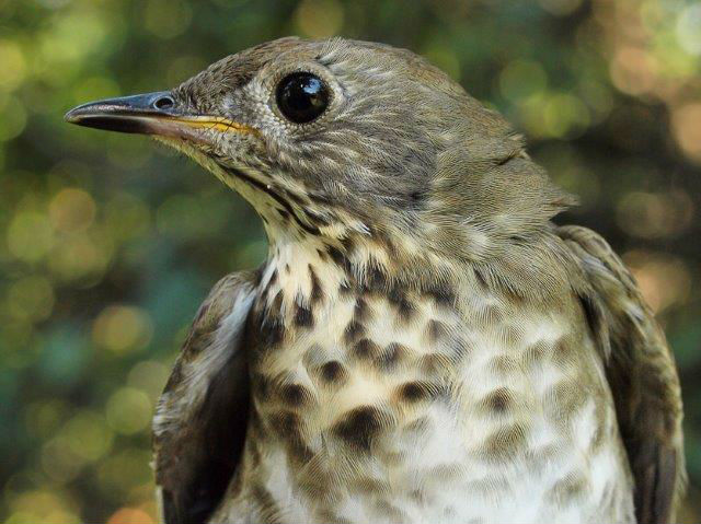 While Swainson's Thrushes were dominating this week, Gray-cheeked Thrushes were also moving in higher than usual numbers, with 7 individuals banded this week alone (more than in seven entire fall seasons), including this one (Photo by Simon Duval)