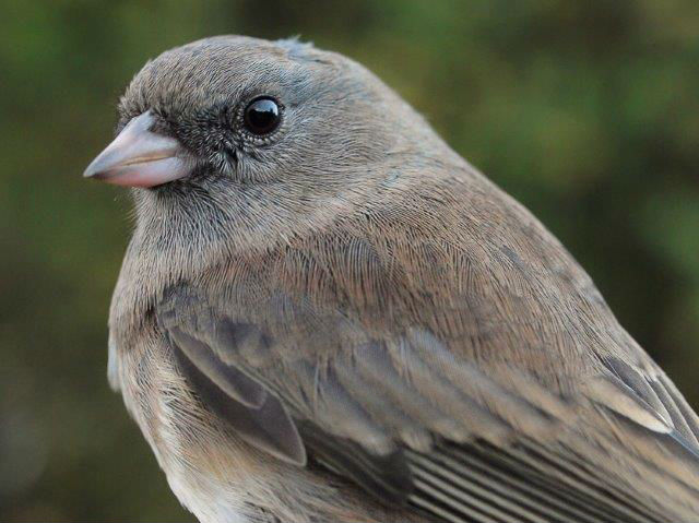The arrival of Slate-colored Juncos this week was among the key signs of the advancing season, despite the continuing warm weather and green leaves (Photo by Simon Duval)