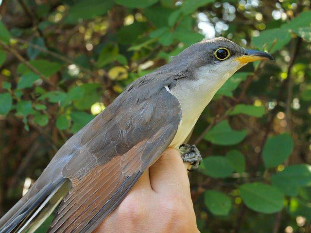 The first Yellow-billed Cuckoo banded at MBO in nearly ten years, and just the second overall, this was unquestionably the banding highlight of the week, and probably of this season (Photo by Simon Duval)