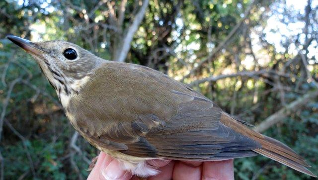 With near-record numbers of Swainson's Thrushes migrating through MBO this fall, we are curious to see whether Hermit Thrushes will show a similar spike, now that their migration period is beginning (Photo by Simon Duval)