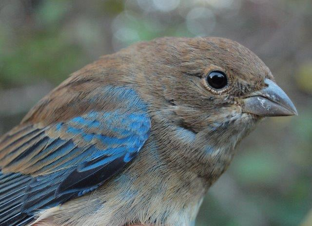The number of Indigo Buntings observed and banded this week was above average, and included this nicely marked after-hatch-year male (Photo by Simon Duval)