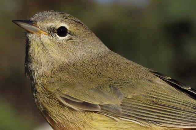 The arrival of the first Orange-crowned Warbler of fall on September 30 matched the record late date established in 2008; this individual (possibly the same bird) was banded the next morning (Photo by Simon Duval)