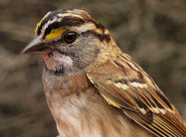 As with a number of other northern species, we are seeing a higher than usual proportion of adult White-throated Sparrows this fall, suggesting that breeding success was lower than normal (Photo by Simon Duval)