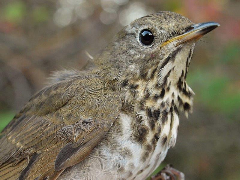 The banding highlight of the week was this Bicknell's Thrush, only the sixth one ever banded at MBO (Photo by Simon Duval)