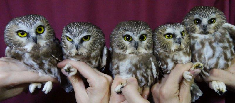 Five Northern Saw-whet Owls, as part of our busy night on October 14 (Photo by Simon Duval)
