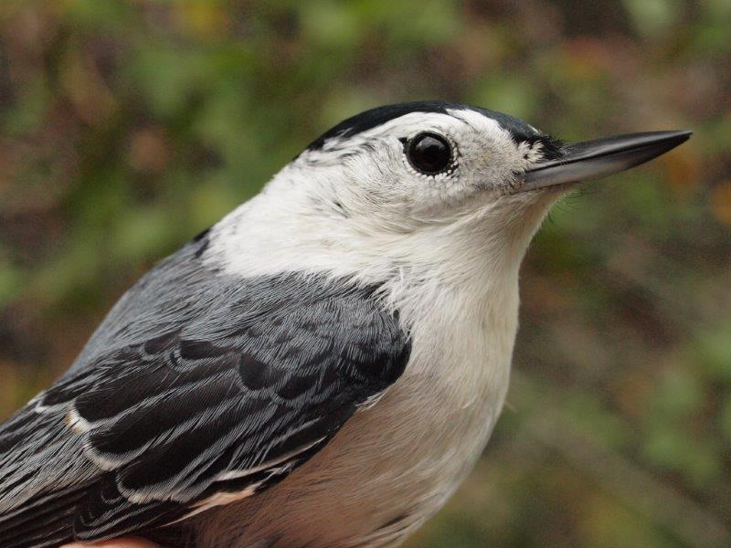 lthough a year-round resident at MBO, White-breasted Nuthatches are only occasionally banded; this week was only the second time in MBO's history that two were banded in a single week (Photo by Simon Duval)