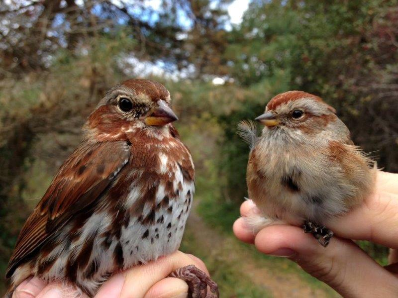 Both of these sparrows were banded this week for the first time this fall; this comparison shows just how much bigger Fox Sparrows are than American Tree Sparrows (Photo by Simon Duval)