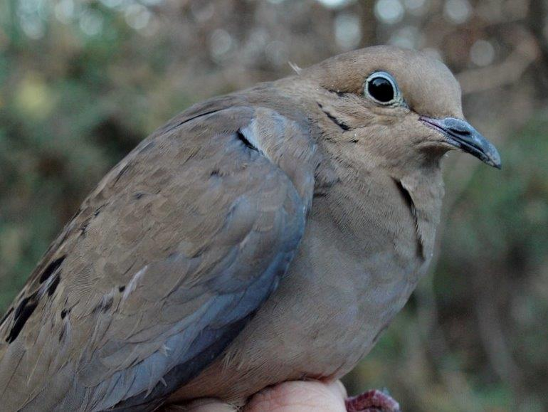 Although Mourning Dove is a year-round resident at MBO and particularly common in October, this is only the second one banded in the 11-year history of the Fall Migration Monitoring Program (Photo by Simon Duval)