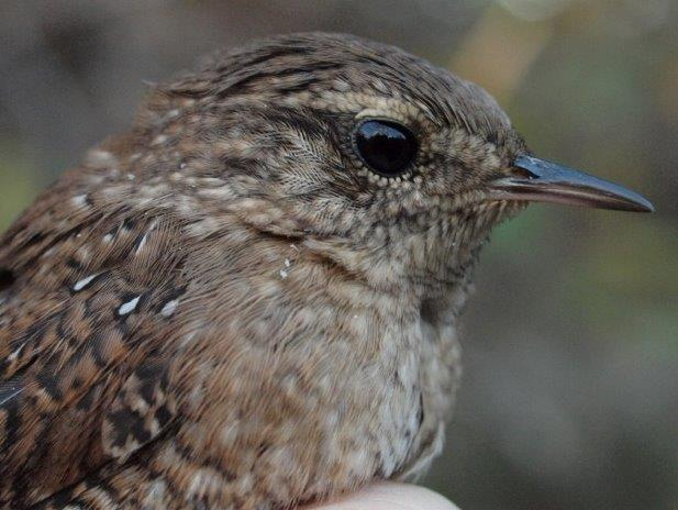 Like many boreal species, Winter Wrens have been scarcer than usual this fall; this was one of three banded this week, among a season total to just five (Photo by Simon Duval)